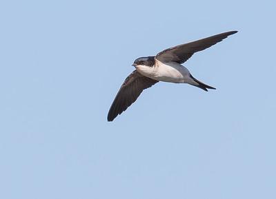 Huiszwaluw (Arkemeen 2015)