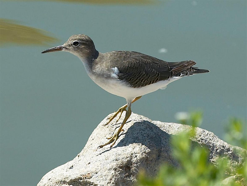 Spotted Sandpiper<br /> <br /> Nikon D70<br /> <br /> Focal Length: 200mm<br /> <br /> Optimize Image: Custom<br /> <br /> Color Mode: Mode II (Adobe RGB)<br /> <br /> Long Exposure NR: Off<br /> <br /> 2005/09/03 11:08:24.1<br /> <br /> Exposure Mode: Aperture Priority<br /> <br /> White Balance: Auto<br /> <br /> Tone Comp.: Normal<br /> <br /> Compressed RAW (12-bit)<br /> <br /> Metering Mode: Multi-Pattern<br /> <br /> AF Mode: AF-S<br /> <br /> Hue Adjustment: 0°<br /> <br /> Image Size: Large (3008 x 2000)<br /> <br /> 1/500 sec - F/7.1<br /> <br /> Flash Sync Mode: Not Attached<br /> <br /> Saturation: Normal<br /> <br /> Exposure Comp.: 0 EV<br /> <br /> Sharpening: None<br /> <br /> Lens: VR 70-200mm F/2.8 G<br /> <br /> Sensitivity: ISO 200<br /> <br /> Image Comment:                                     <br /> <br /> [#End of Shooting Data Section]