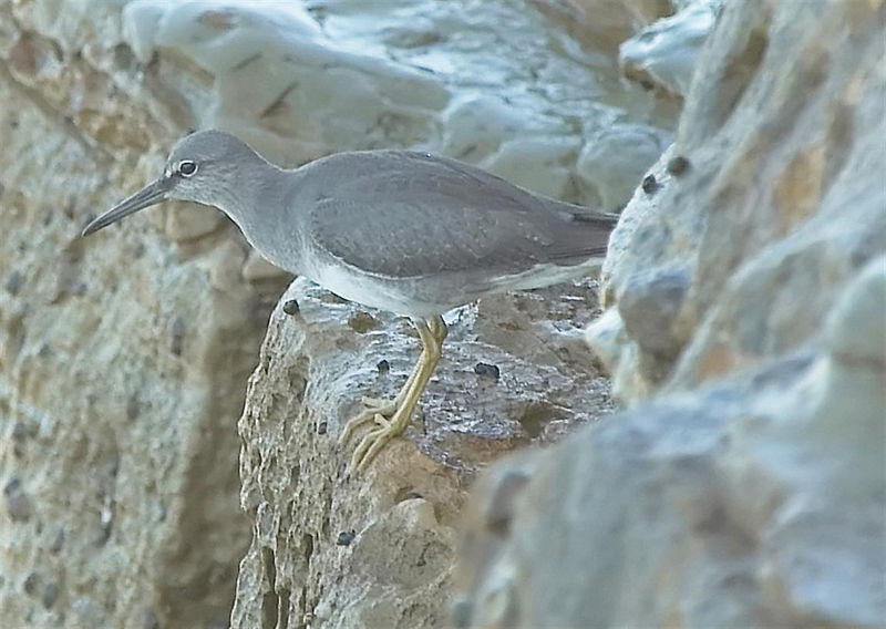 Wandering Tattler<br /> <br /> Nikon D70<br /> <br /> Focal Length: 340mm<br /> <br /> Optimize Image: Custom<br /> <br /> Color Mode: Mode II (Adobe RGB)<br /> <br /> Long Exposure NR: Off<br /> <br /> 2005/08/27 09:26:52.1<br /> <br /> Exposure Mode: Aperture Priority<br /> <br /> White Balance: Auto<br /> <br /> Tone Comp.: User-Defined Custom Curve<br /> <br /> Compressed RAW (12-bit)<br /> <br /> Metering Mode: Multi-Pattern<br /> <br /> AF Mode: AF-S<br /> <br /> Hue Adjustment: 0°<br /> <br /> Image Size: Large (3008 x 2000)<br /> <br /> 1/80 sec - F/9<br /> <br /> Flash Sync Mode: Not Attached<br /> <br /> Saturation: Normal<br /> <br /> Exposure Comp.: 0 EV<br /> <br /> Sharpening: None<br /> <br /> Lens: VR 70-200mm F/2.8 G<br /> <br /> Sensitivity: ISO 200<br /> <br /> Image Comment:                                     <br /> <br /> [#End of Shooting Data Section]