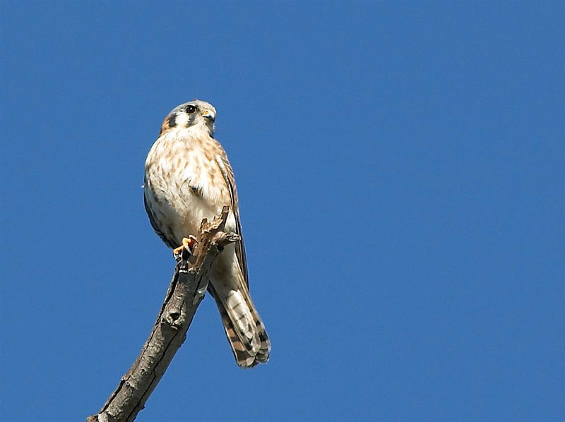 American Kestrel <br /> <br /> Nikon D70<br /> <br /> Focal Length: 340mm<br /> <br /> Optimize Image: Custom<br /> <br /> Color Mode: Mode II (Adobe RGB)<br /> <br /> Long Exposure NR: Off<br /> <br /> 2005/11/12 10:44:58<br /> <br /> Exposure Mode: Aperture Priority<br /> <br /> White Balance: Auto<br /> <br /> Tone Comp.: Auto<br /> <br /> Compressed RAW (12-bit)<br /> <br /> Metering Mode: Multi-Pattern<br /> <br /> AF Mode: AF-S<br /> <br /> Hue Adjustment: 0°<br /> <br /> Image Size: Large (3008 x 2000)<br /> <br /> 1/500 sec - F/7.1<br /> <br /> Flash Sync Mode: Not Attached<br /> <br /> Saturation: Normal<br /> <br /> Exposure Comp.: 0 EV<br /> <br /> Sharpening: None<br /> <br /> Lens: VR 70-200mm F/2.8 G<br /> <br /> Sensitivity: ISO 200<br /> <br /> Image Comment: Copyright: Trent R. Stanley         <br /> <br /> [#End of Shooting Data Section]