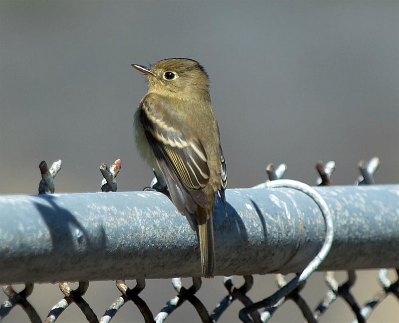 Pacific Slope Flycatcher<br /> <br /> Nikon D70<br /> <br /> Focal Length: 340mm<br /> <br /> Optimize Image: Custom<br /> <br /> Color Mode: Mode II (Adobe RGB)<br /> <br /> Long Exposure NR: Off<br /> <br /> 2005/09/17 11:51:27.1<br /> <br /> Exposure Mode: Aperture Priority<br /> <br /> White Balance: Auto<br /> <br /> Tone Comp.: Normal<br /> <br /> Compressed RAW (12-bit)<br /> <br /> Metering Mode: Multi-Pattern<br /> <br /> AF Mode: AF-S<br /> <br /> Hue Adjustment: 0°<br /> <br /> Image Size: Large (3008 x 2000)<br /> <br /> 1/500 sec - F/6.3<br /> <br /> Flash Sync Mode: Not Attached<br /> <br /> Saturation: Normal<br /> <br /> Exposure Comp.: 0 EV<br /> <br /> Sharpening: None<br /> <br /> Lens: VR 70-200mm F/2.8 G<br /> <br /> Sensitivity: ISO 200<br /> <br /> Image Comment:                                     <br /> <br /> [#End of Shooting Data Section]