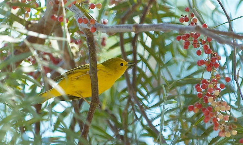 Yellow Warbler<br /> <br /> Nikon D70<br /> <br /> Focal Length: 200mm<br /> <br /> Optimize Image: Custom<br /> <br /> Color Mode: Mode II (Adobe RGB)<br /> <br /> Long Exposure NR: Off<br /> <br /> 2005/09/03 11:47:13.8<br /> <br /> Exposure Mode: Programmed Auto<br /> <br /> White Balance: Auto<br /> <br /> Tone Comp.: Normal<br /> <br /> Compressed RAW (12-bit)<br /> <br /> Metering Mode: Multi-Pattern<br /> <br /> AF Mode: Manual<br /> <br /> Hue Adjustment: 0°<br /> <br /> Image Size: Large (3008 x 2000)<br /> <br /> 1/250 sec - F/4<br /> <br /> Flash Sync Mode: Not Attached<br /> <br /> Saturation: Normal<br /> <br /> Exposure Comp.: 0 EV<br /> <br /> Sharpening: None<br /> <br /> Lens: VR 70-200mm F/2.8 G<br /> <br /> Sensitivity: ISO 200<br /> <br /> Image Comment:                                     <br /> <br /> [#End of Shooting Data Section]