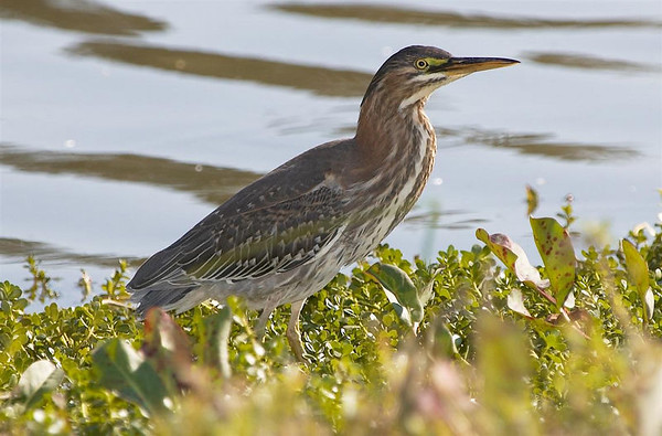 Green Heron  Nikon D70  Focal Length: 340mm  Optimize Image: Custom  Color Mode: Mode II (Adobe RGB)  Long Exposure NR: Off  2005/11/12 13:23:51.8  Exposure Mode: Aperture Priority  White Balance: Auto  Tone Comp.: Auto  Compressed RAW (12-bit)  Metering Mode: Multi-Pattern  AF Mode: AF-S  Hue Adjustment: 0°  Image Size: Large (3008 x 2000)  1/500 sec - F/7.1  Flash Sync Mode: Front Curtain  Saturation: Normal  Exposure Comp.: 0 EV  Auto Flash Mode: Balanced i-TTL  Sharpening: None  Lens: VR 70-200mm F/2.8 G  Sensitivity: ISO 200  Auto Flash Comp: 0 EV  Image Comment: Copyright: Trent R. Stanley           [#End of Shooting Data Section]