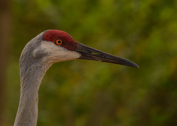 A Sandhill Crane on the streets near Lake Kissimmee State Park, Lake Wales, FL