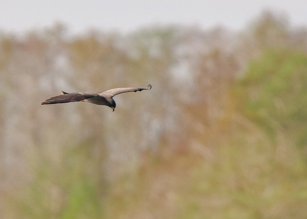 A Snail Kite in flight at Lake Kissimmee State Park, Lake Wales, FL