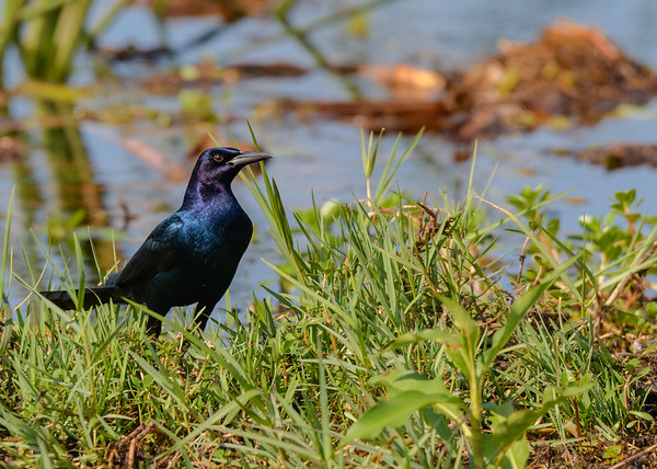 A male Boat-tailed Grackle at Lake Kissimmee State Park, Lake Wales, FL