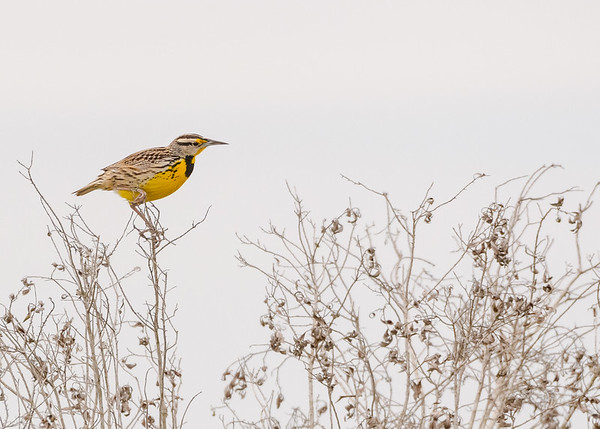 An Eastern Meadowlark at Three Lakes WMA, Kenansville, FL