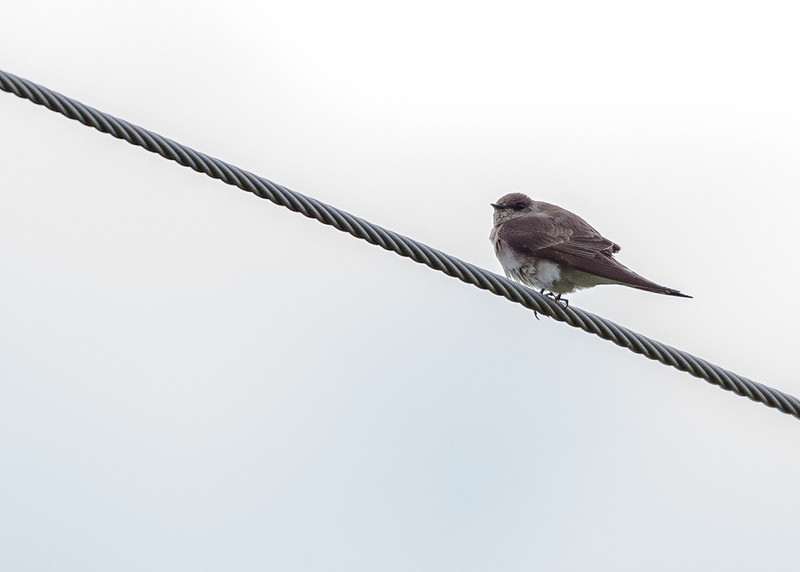 a Northern Rough-winged Swallow at Falling Springs Bird Sanctuary, French Lick, IN
