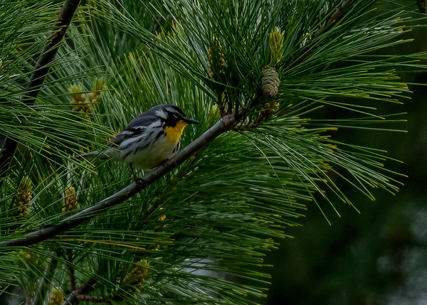 a Yellow-throated Warbler at Falling Springs Bird Sanctuary, French Lick, IN