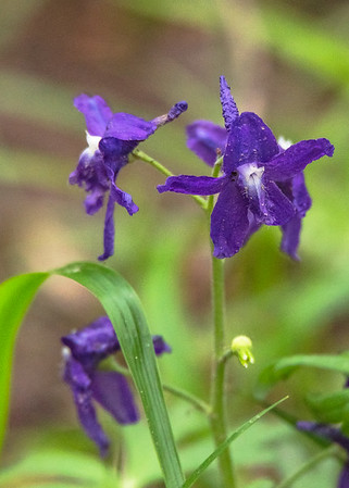 Larkspur (Delphinium elatum) at Falling Springs Bird Sanctuary, French Lick, IN