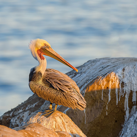 Brown Pelican  at La Jolla cove