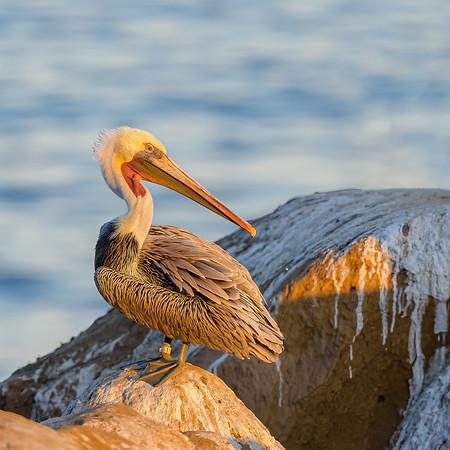 Brown Pelican  at La Jolla cove