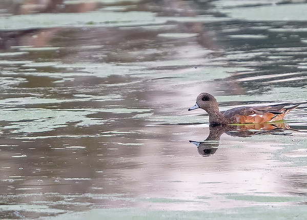 American Wigeon  at Dairy Mart Rd.--main pond, Tijuana River Valley Regional Park
