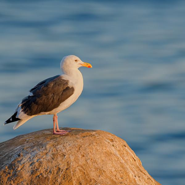 Western Gull  at La Jolla cove