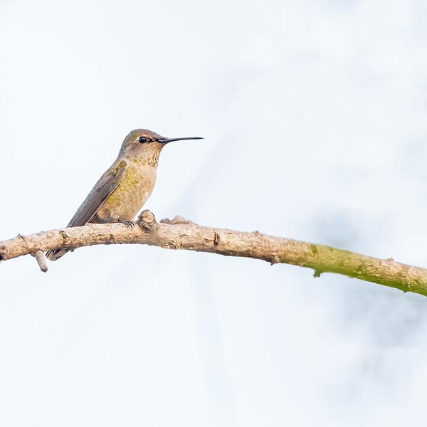 Anna's Hummingbird  at Dairy Mart Rd.--main pond, Tijuana River Valley Regional Park
