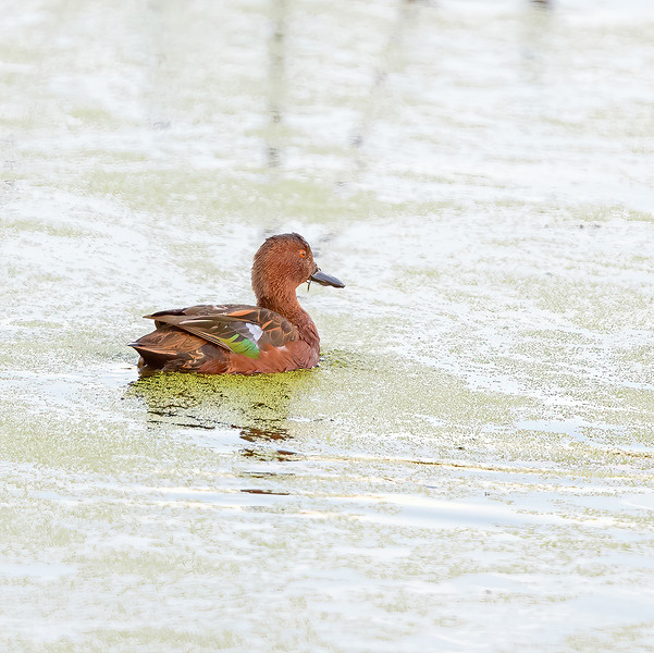 Cinnamon Teal  at Dairy Mart Rd.--main pond, Tijuana River Valley Regional Park