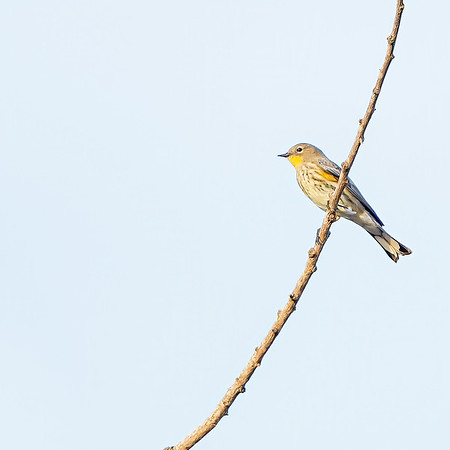 "Yellow-rumped Warbler at Dairy Mart Rd.--south pond (aka ""stick pond""), Tijuana River Valley Regional Park"