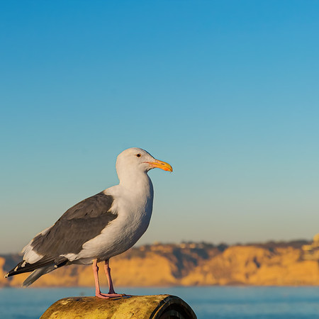 Western Gull at La Jolla Cove
