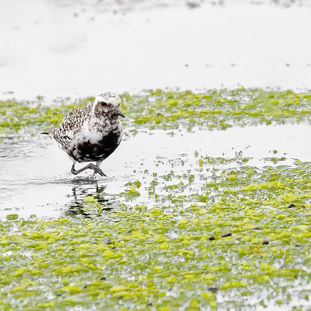 Black-bellied Plover  at Moss Landing State Wildlife Area, CA.