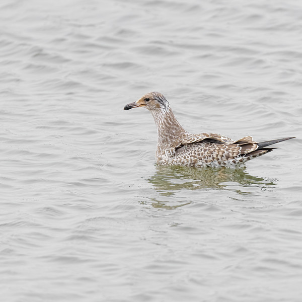 Western Gull  at Moss Landing State Wildlife Area, CA.
