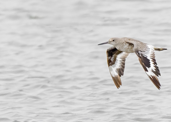Willet at Moss Landing State Wildlife Area, CA.