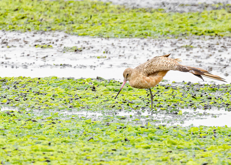 Marbled Godwit at Moss Landing State Wildlife Area, CA.