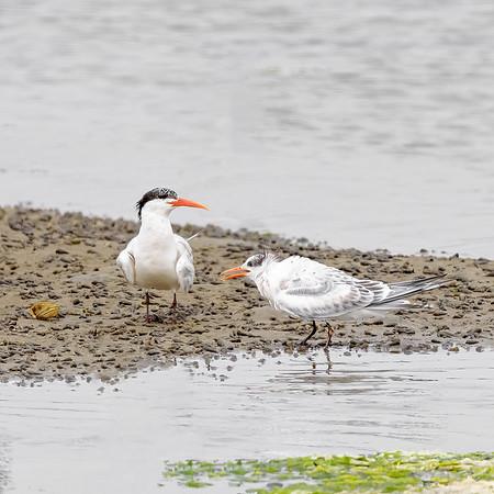 Royal Tern at Moss Landing State Wildlife Area, CA.