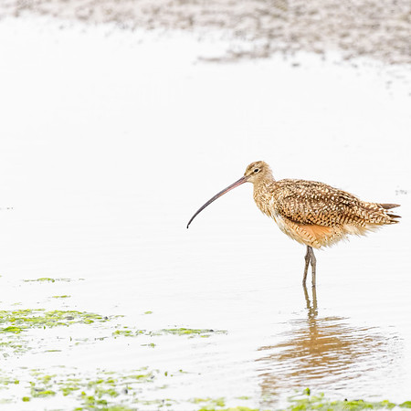 Long-billed Curlew at Moss Landing State Wildlife Area, CA.