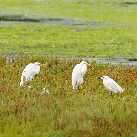 Great Egret at Moss Landing State Wildlife Area, CA.