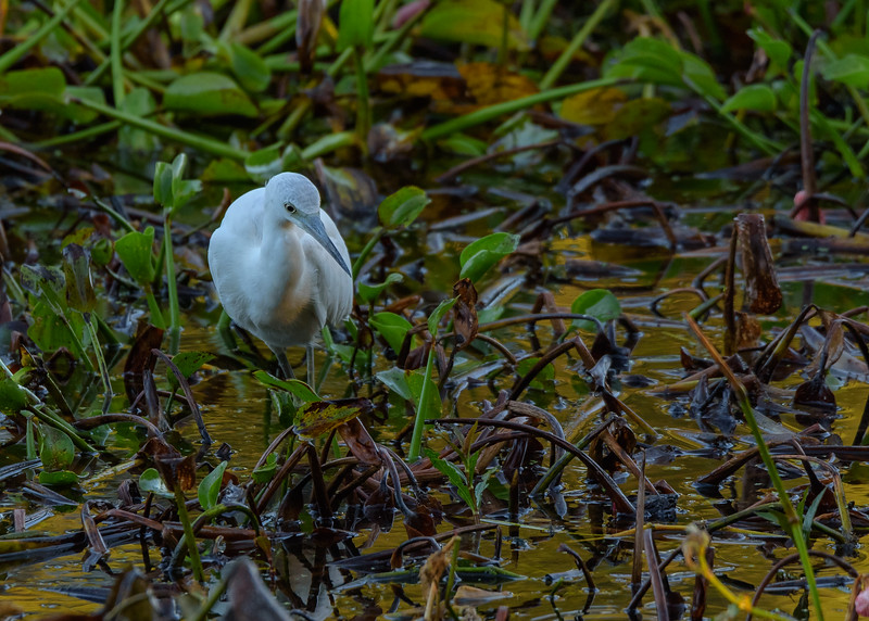 a juvenile Little Blue Heron at Couturie Forest, New Orleans, LA