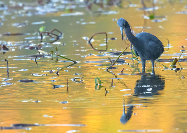 a Little Blue Heron busy feeding at Couturie Forest, New Orleans, LA