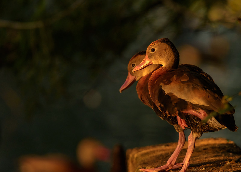 Black-bellied Whistling-Ducks at Audubon Park, New Orleans, LA