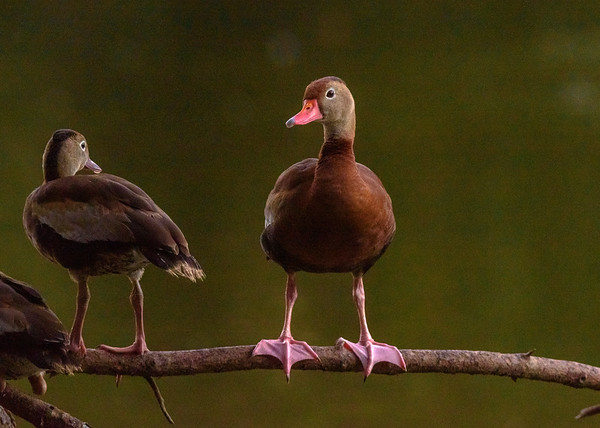 a Black-bellied Whistling-Duck couple at Audubon Park, New Orleans, LA