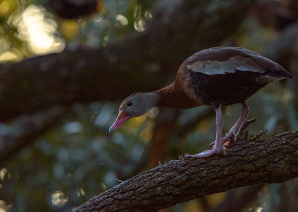 a Black-bellied Whistling-Duck chasing away a felllow duck at Audubon Park, New Orleans, LA
