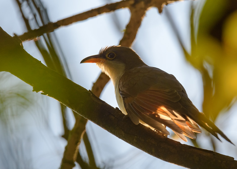 an unexpected find, a Yellow-billed Cuckoo at Couturie Forest, New Orleans, LA