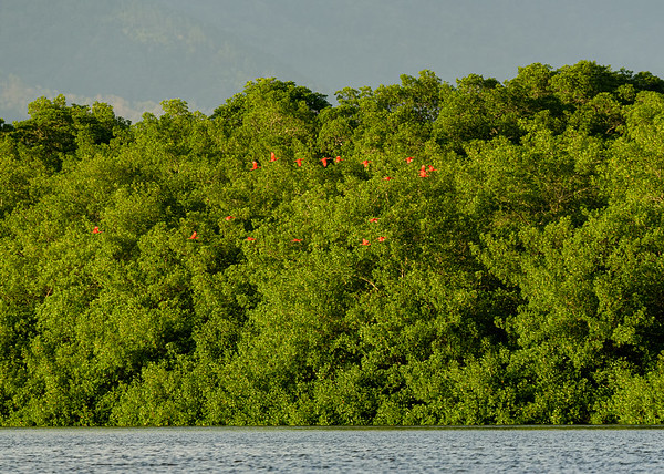 Scarlet Ibis at Caroni Marsh, Trinidad