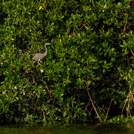 Tricolored Heron at Caroni Marsh, Trinidad
