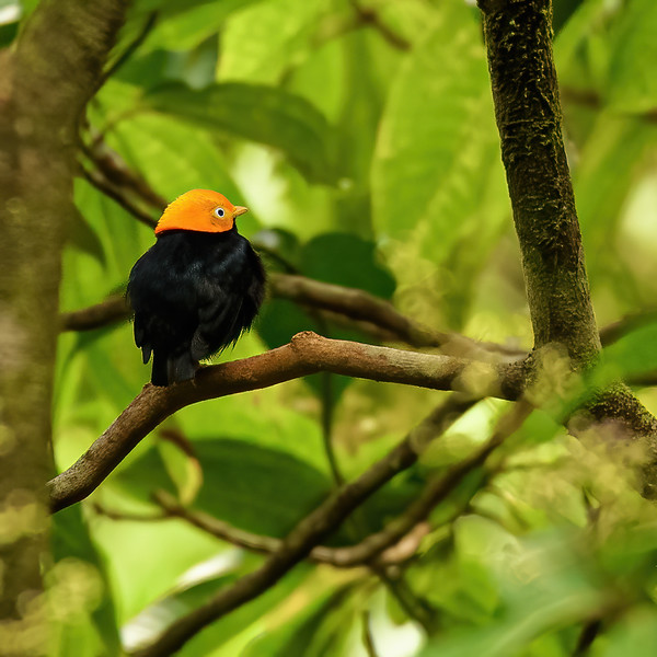 a male Golden-headed Manakin at Asa Wright Nature Centre