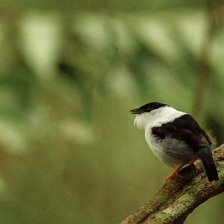 White-bearded Manakin at Asa Wright Nature Centre