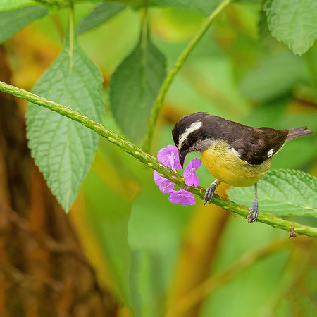 a Bananaquit looking keenly at a Vervain sp. flower at Asa Wright Nature Centre