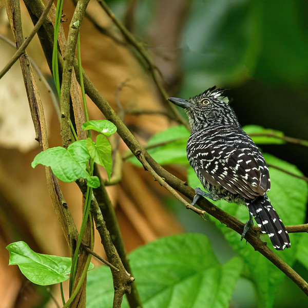 a neotropic  antbird called as Barred antshrike at Asa Wright Nature Centre