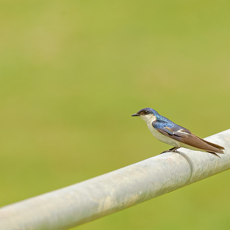 most probably White-winged Swallow, but could also be a Tree swallow. not sure aboyt that