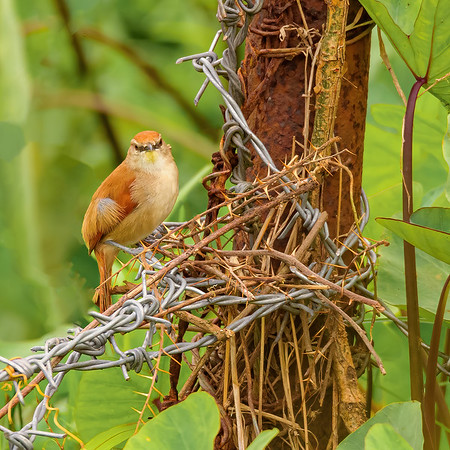 Yellow-chinned Spinetail at Aripo Livestock Station, Trinidad