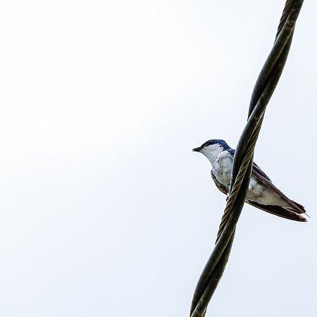White-winged Swallow at Orange Valley Mudflats, Trinidad