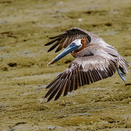 Brown Pelican at Orange Valley Mudflats, Trinidad