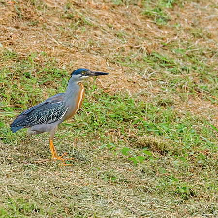 Green Heron at Waterloo, Trinidad