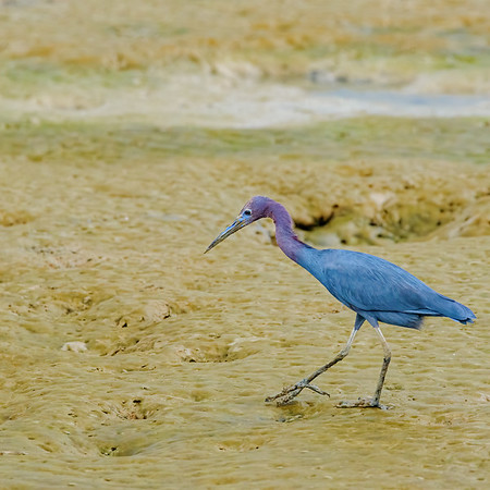waiting frozen!! Little Blue Heron at Orange Valley Mudflats, Trinidad