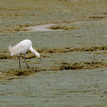 waiting!! Snowy Egret at Orange Valley Mudflats, Trinidad