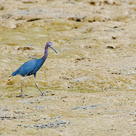 Little Blue Heron at Orange Valley Mudflats, Trinidad
