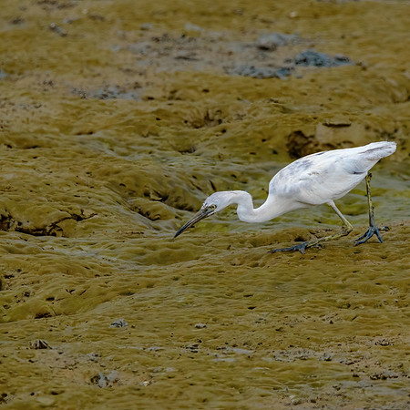 Snowy Egret at Orange Valley Mudflats, Trinidad